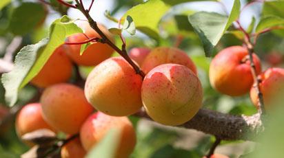 Абрикос сбрасывает плоды. Что делать
