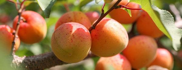 Болезни и вредители абрикосов: меры борьбы и профилактика