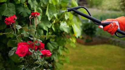 Чем подкормить розы весной для обильного цветения