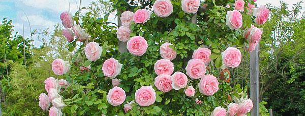 Что такое плетистые розы: виды и отличия