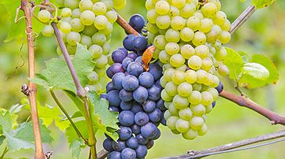 Как ухаживать за виноградом: календарь работ по месяцам