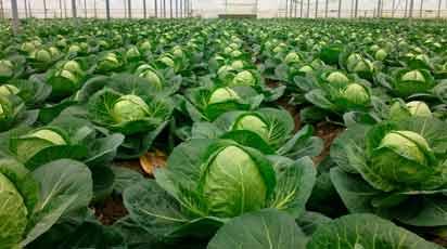 Капуста - посадка, выращивание, сбор и хранение урожая