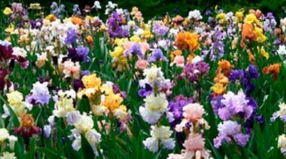 Посадка и уход за ирисами – цветами богини Ириды