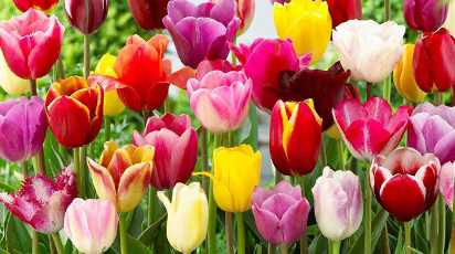 Секреты выращивания тюльпанов: делимся нюансами посадки