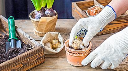 Как вырастить душистый букет гиацинтов к Новому году