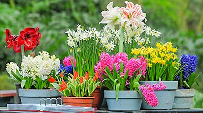Выгонка луковичных цветов к Новому году: сроки посадки осенью, условия выращивания