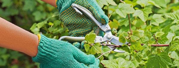 Грамотная обрезка смородины осенью – залог здорового куста и хорошего урожая