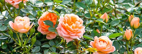 Как избавится от белого налета на розах