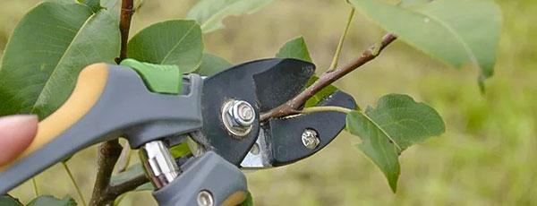 Как обрезать грушу осенью: основные правила и советы для начинающих