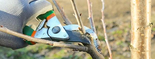 Как обрезать яблоню весной: подробные рекомендации