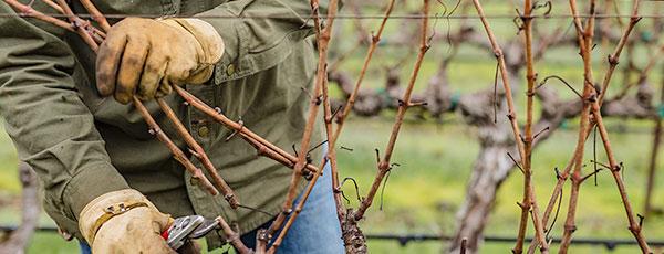 Обрезка винограда осенью: пособие для начинающих