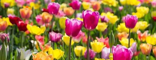 Описание сортов тюльпанов – подробная классификация