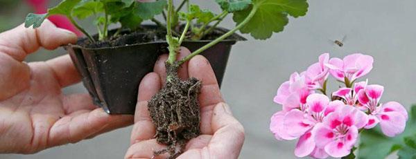 Пеларгония из семян — легко!
