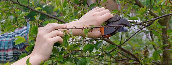 Посадка и обрезка вишни и черешни осенью: важные нюансы
