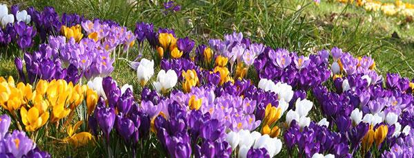 Посадка луковичных цветов осенью: самые важные правила
