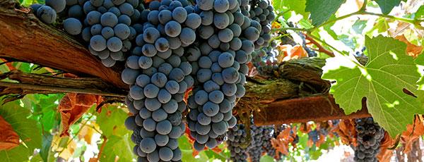 Посадка винограда осенью и уход за молодыми саженцами