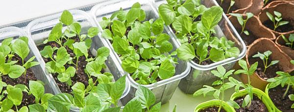 Посев семян в кипяток – шоковый метод получения крепкой рассады