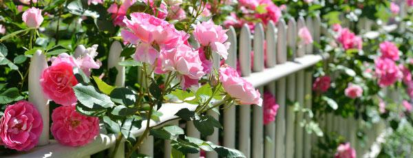 Правильная посадка роз осенью – залог пышного цветения в следующем сезоне