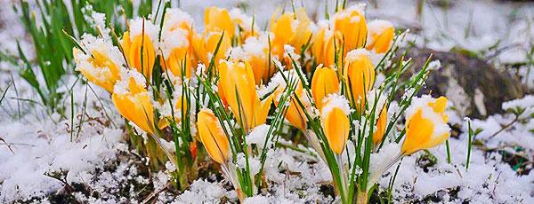 Весенняя защита от заморозков - как сохранить урожай