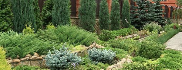 Зеленые легкие сада: посадка хвойных растений осенью