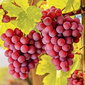 Виноград десертный