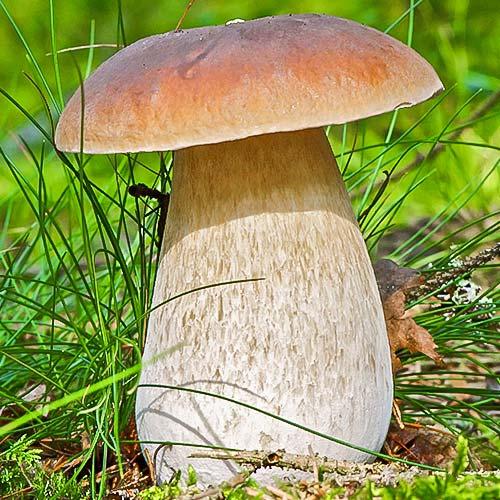 Белый гриб изображение 1 артикул 9725