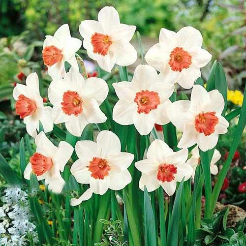 Нарцисс крупноцветковый Пинк Шарм изображение 1 артикул 67426