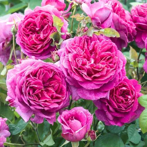 Роза английская Пинк Леди изображение 1 артикул 2224