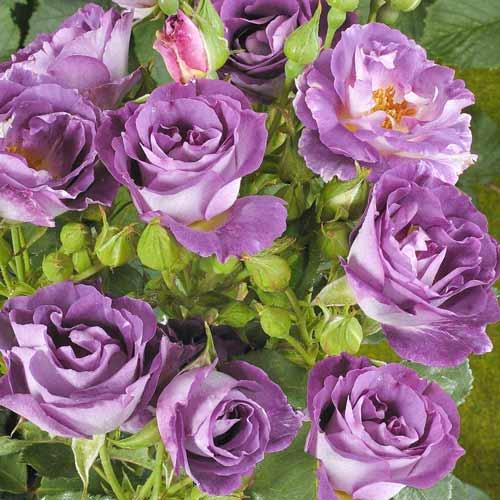Роза флорибунда Блю фо Ю изображение 1 артикул 2190