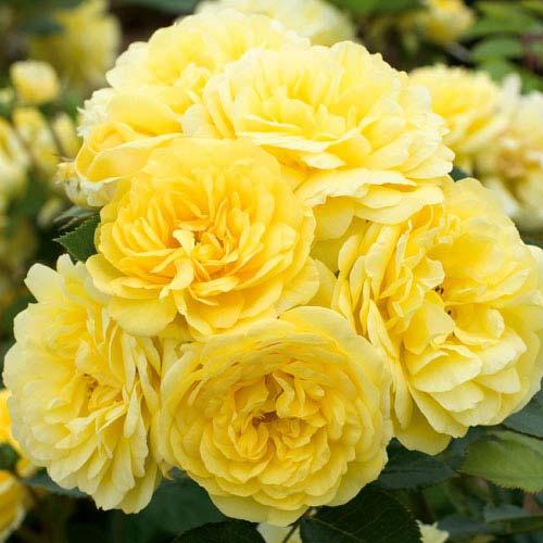 Роза флорибунда Фрезия изображение 1 артикул 2202