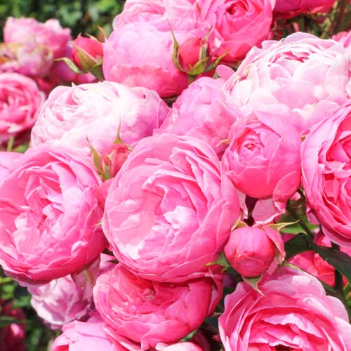 Роза флорибунда Помпонелла изображение 1 артикул 2199