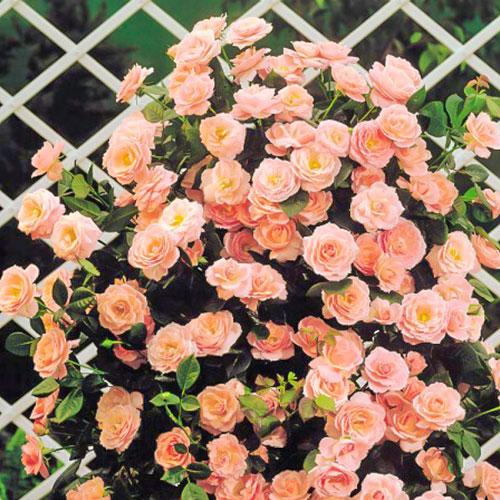 Роза плетистая Глория Клайминг изображение 1 артикул 2155