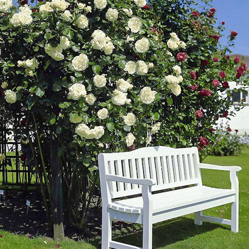 Роза плетистая Мон Блан изображение 1 артикул 2170