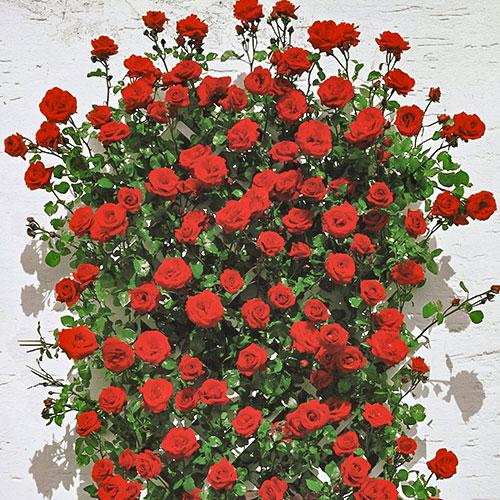 Роза плетистая Мушимара изображение 1 артикул 2171