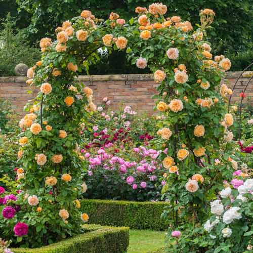 Роза плетистая Принцесса Маргарет изображение 1 артикул 2178
