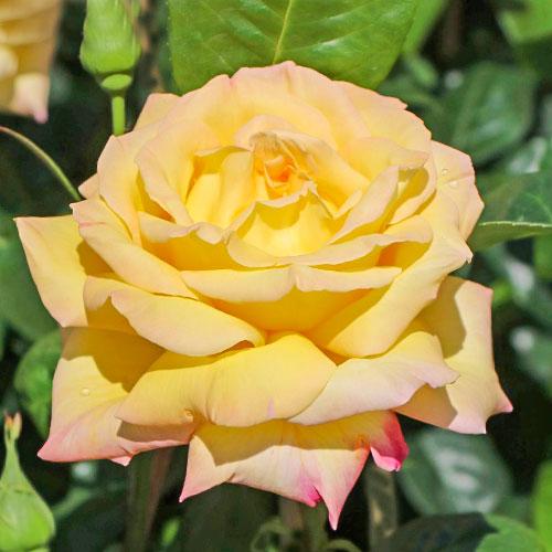 Роза чайно-гибридная Глория Дей изображение 1 артикул 2112