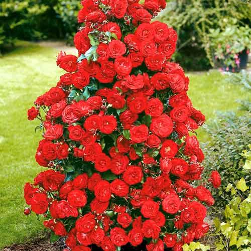 Роза плетистая Красная изображение 1 артикул 2167