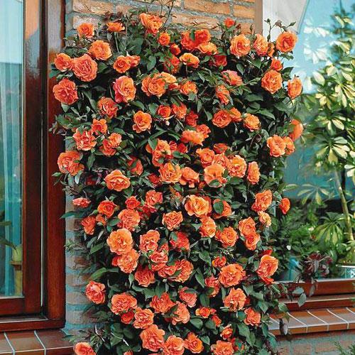 Роза плетистая Оранжевая изображение 1 артикул 2173