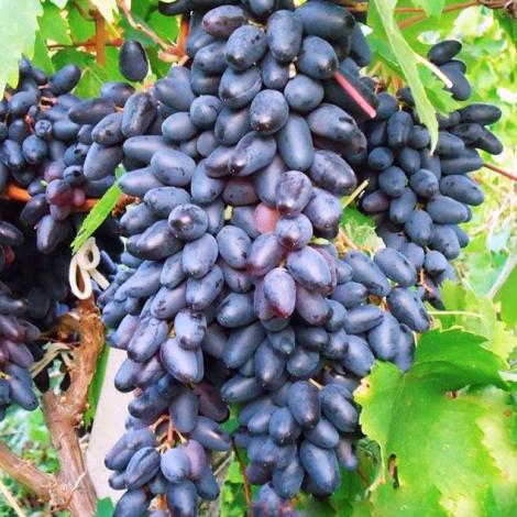 Виноград Сувенир изображение 1 артикул 7325