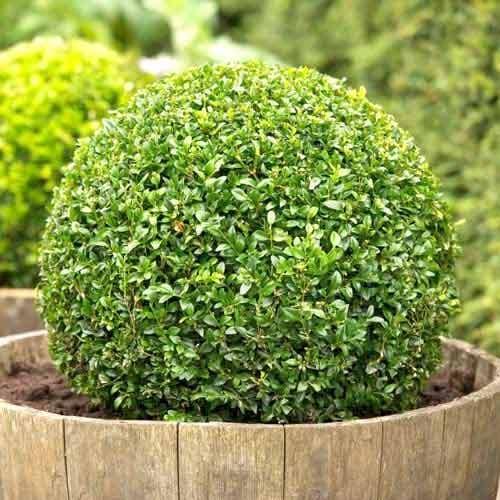 Самшит вечнозеленый изображение 1 артикул 9093