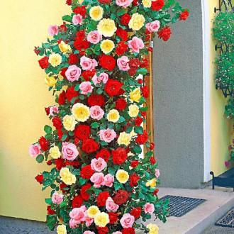 Суперпредложение! Комплект плетистых роз Триколор из 3 сортов изображение 3