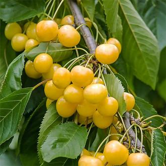 Черешня крупноплодная желтая изображение 5