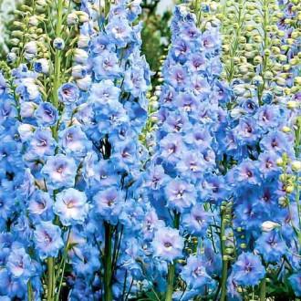 Дельфиниум Голубое кружево Русский огород НК изображение 6