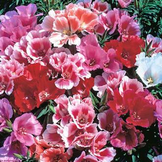 Годеция Майские розы, смесь окрасок Premium Seeds изображение 7