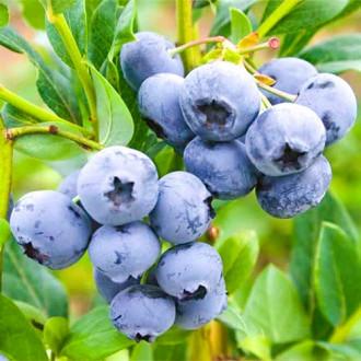 Голубика Блю Берри изображение 3