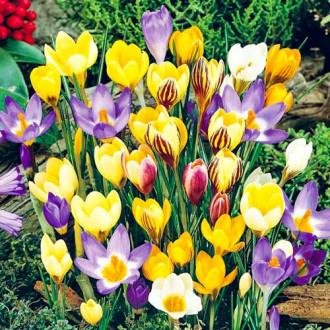 Крокус ботанический, микс изображение 5
