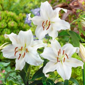 Лилия восточная Сантандер изображение 4