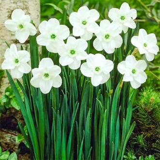 Нарцисс мелкокорончатый Грин Айд Леди изображение 8
