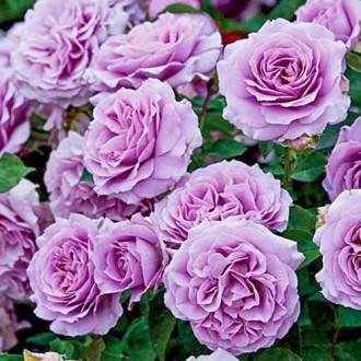 Роза флорибунда Лав Сонг изображение 7
