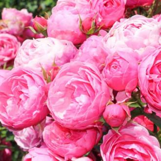 Роза флорибунда Помпонелла изображение 6